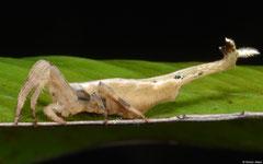Drag tail spider (Arachnura melanura), Balut Island, Philippines