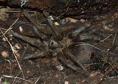 Cuban bronze tarantula (Phormictopus auratus), Granma, Cuba