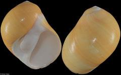 Polinices citrinus (Philippines, WRS 60,0mm)