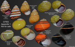 Polymita spp. (Cuba) (all these species are on CITES Appendix 1)