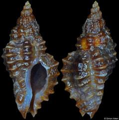 Africanella coseli (Ghana, 9,0mm)