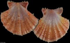 Mirapecten mirifica form 'thaanumi' (Philippines, 48,5mm)