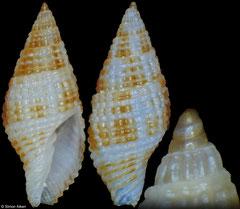 Costapex margaritatus (Philippines, 11,4mm)