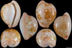 Cypraea volvens (South Africa, 22,2mm)