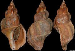 Beringius stimpsoni (Alaska, USA, 123,1mm)