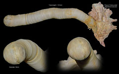 Eufistulana mumia (Philippines, 131mm)