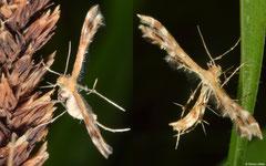 Plume moth (Pterophoridae sp.), Broome, Western Australia