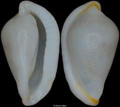 Carpiscula virginiae (Philippines, 10mm)