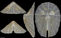 Laeviemarginula kimberi (Philippines, 10,3mm)