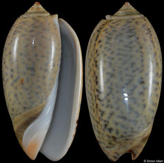 Oliva tigrina (Madagascar, 54,4mm) F++ €3.50 (specimens for sale are 51mm+ and are of the same quality as the specimen illustrated)