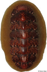 Tonicella submarmorea (Kamchatka, Russia, 26mm)