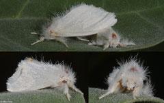 Tussock moth (Lymantriinae sp.), Broome, Western Australia