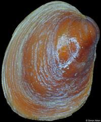 Lissarca rubrofusca (South Shetland Islands, 3,6mm)