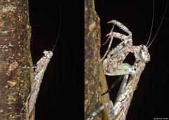 Praying mantis (Humbertiella sp.), Bokor Mountain, Cambodia