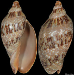 Cymbiola nivosa (Western Australia, 90,0mm)
