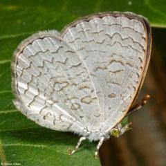 Apefly (Spalgis epius), Olango Island, Philippines