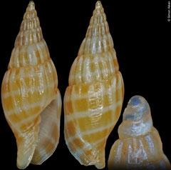 Vexillum voncoseli (Philippines, 10,6mm)