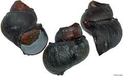Ifremeria nautilei (Manus Basin, 48,7mm)