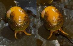 Littorina obtusata citrina (Shell Island, Gwynedd, UK)