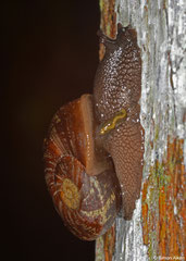 Ampelita sepulchralis (Sahafina, Madagascar)