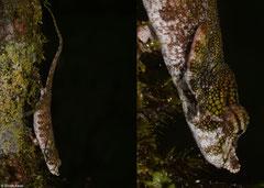 Nose-horned chameleon (Calumma nasuta), VOIMMA, Madagascar