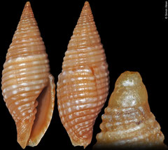 Pseudonebularia cuyosae (Philippines, 15,5mm)