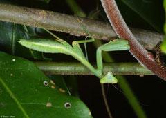 Praying mantis (Sphodromantis sp.), Fianarantsoa, Madagascar