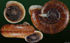 Spiraculum massiei (Laos, 24,8mm) F+++ €13.00 (specimens for sale are 23-26mm and are of the same quality as the specimen illustrated)
