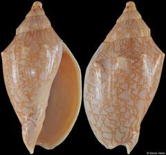 Odontocymbiola americana saotomensis (Brazil, 58,8mm)