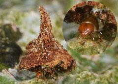 Bagworm moth (Psychidae sp.) larva, Lakxao, Bolikhamsai Province, Laos