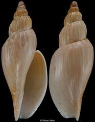 Saotomea pratasensis (Amami Islands, 50,4mm) F+/F++ €48.00