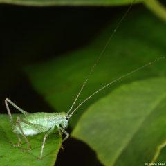 Katydid (Tettigoniidea sp.) nymph, Angkor Chey, Cambodia