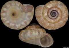 Ethminolia cf. durbanensis (South Africa, 3,6mm) F++ €5.50