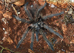 Haitian brown tarantula (Phormictopus cancerides), Sierra de Baoruco, Dominican Republic