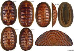 Tonicella lineata (Washington, USA)
