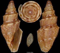 Tropidoturris simplicicingula (South Africa, 12,1mm)