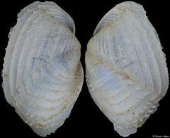 Jouannetia quillingi (Florida, USA, 11,3mm)