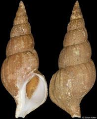 Plicifusus elaeodes (Sakhalin Island, Russia, 58,5mm) F+ €55.00