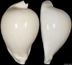 Cypraea hesitata (pale 'howelli' form) (Victoria, Australia, 88,5mm) F+++ €135.00