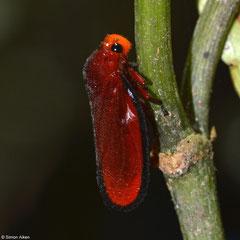 Froghopper (Cercopidae sp.), Andasibe, Madagascar