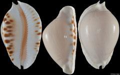 Cypraea marginata form 'albanyensis' (Western Australia, 58,7mm)