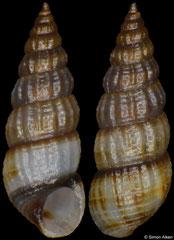 Finella purpureoapicata (Philippines, 4,5mm)