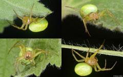 Cucumber green spider (Araniella cucurbitina), York, UK
