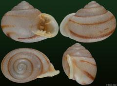 Tomigerus pilsbryi (Brazil, 13,3mm) F+++ €16.50
