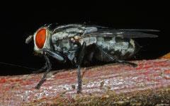 Blow-fly (Oestroidea sp.), Samal Island, Philippines