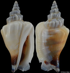 Canarium incisum (Solomons, 23,5mm)