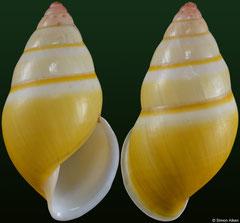 Amphidromus davidmonsecouri (Vietnam, 32,8mm)