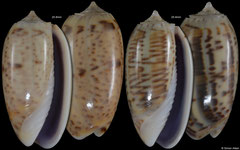 Oliva caroliniana (Madagascar, 25,8mm, 25,4mm) F+++ €1.80 (specimens for sale are 24-25mm and are of the same quality as the specimens illustrated)