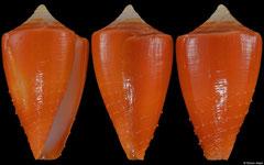 Conus rawaiensis (Thailand, 22,4mm)