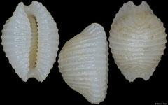 Dolichupis sp. nov. (Philippines, 6,2mm)